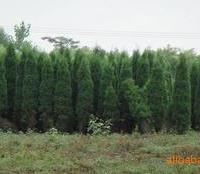供应苗木绿化苗木、乔木、灌木、花卉、松杉柏、紫藤,地锦,凌宵