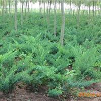 批发蜀桧、地柏、沙地柏、扶芳藤、绿化苗木、花卉、草坪等花木
