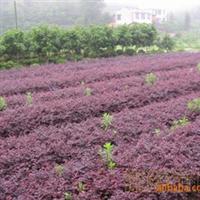 供应苗木花木绿化苗木、乔木、灌木、花卉、红叶小檗、广玉兰等