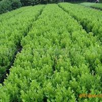 供应湖南落叶乔木类绿化苗木白玉兰品种齐全