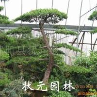 供应大规格造型罗汉松盆景耐寒,耐旱,耐高温(图)