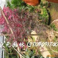 供应红花紫薇树桩五角枫树罗汉松盆景红花继木盆景迎客松盆景