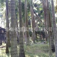 长期供应棕榈树大王棕各种规格大王椰子苗木(图)
