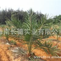 海南绿化苗木——中东银海枣(中苗)