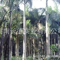 供应棕榈科苗低价出售大王椰子苗(图)