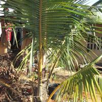 长期供应海南椰子树苗、椰子苗木