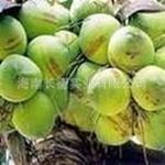 常年供应海南热带水果椰子——椰青