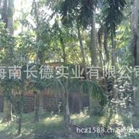 供应大王棕树各种乔木棕榈科大王椰子(图)