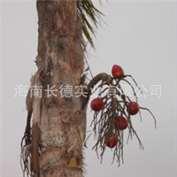 海南热带绿化苗木——假槟榔(亚历山大椰子)