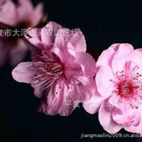 供应美人梅绿化苗果树苗木[图]【图】