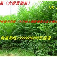 供应山东香椿苗大棚香椿树苗13853896209优质丰产香椿苗基地