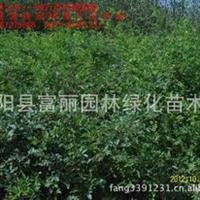 蔷薇月季批发---基地低价批发1-2-3年生苗,另有红帽月季,