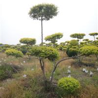 供应金叶榆绿化植物金叶榆造型树造型树园林植物
