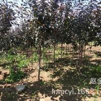 大量供应北美王族海棠绿化树苗小区绿化