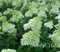 供应木绣球小区绿化大花水桠木八仙花