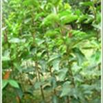 柿子树柿子树苗.大型柿子树.柿子树基地