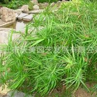 供应旱伞草,旱伞草苗,别名伞草、水棕竹、风车草,水生植物