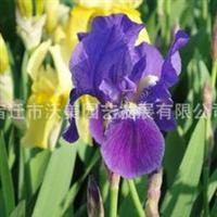 供应出口景观花卉种子,蓝花鸢尾种子,鸽子花,蓝蝴蝶,扁竹花