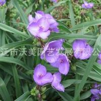 供应紫露草,紫露草苗,别名紫鸭趾草、紫叶草,紫露花,水生植物