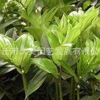 供应出口景观花卉种子,玉竹种子,别名尾参、铃铛菜、地节