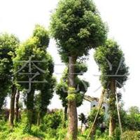 供应樟树5-6-7-8-9-10-12-15