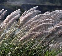 供应芦苇花,工艺品专用芦苇花