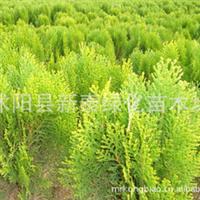 洒金柏长期大量供应洒金柏洒金柏球工程灌木优质苗木