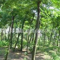苗圃供应红花七叶树.江苏红花七叶树销售价格.批售价格