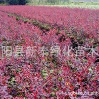 供应园林苗木搭档红叶小檗.金叶女贞.全部较低价销售