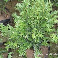 供应南方盆栽红豆杉