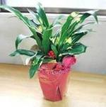 -盆栽花卉---万年青又名、冬不凋、铁扁担