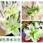 【鲜花香水百合种球】百合女王|白,粉红,紫,绿|点击了解更多百合