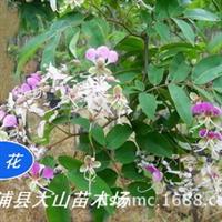 供仪花(红花树)新品种绿化树种,花多