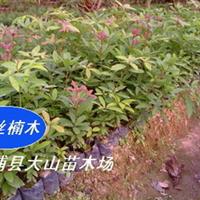 闽楠苗(金丝楠木苗,香楠,名贵家具用材林)
