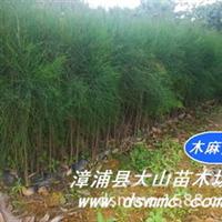 木麻黄(防护林生态林沿海防风林)