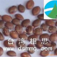 供应台湾相思种子,公路喷播,边坡绿化,生态造林