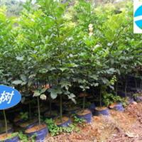 红豆树苗,花梨木苗,红木类树种