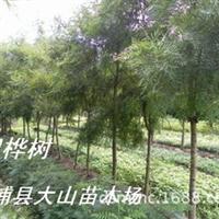 供银桦树(山龙眼科银橡树)