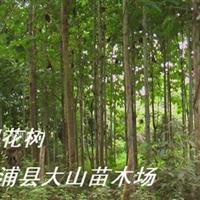 供应黄�拍�(团花树绿化见效快)