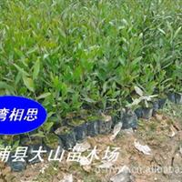 供应台湾相思树(相思树,荒山复绿,水土保持)