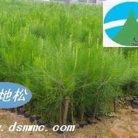 供应湿地松(美国松国外松松树)
