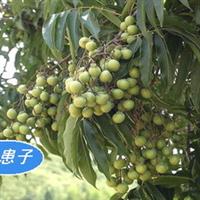 蚬木(红皮铁木、枧木、�棠尽⒒鹉荆�