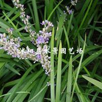 供应吉祥草(别名观音草、松寿兰、小叶万年青)观赏草,地被