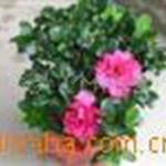 供应:福建花卉:永福花卉比利时西洋杜鹃室内盆景花卉