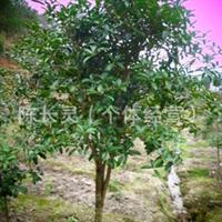 供应:福建花卉永福花卉南方花卉乔木绿化苗桂花树