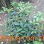 供应绿化苗木桂花