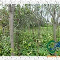 供应绿化苗行道树《西府海棠》《垂丝海棠》海棠直销地