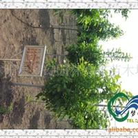 供应绿化行道树红玉兰,白玉兰,紫玉兰,广玉兰,基地