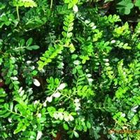供应绿化苗木胡椒木清香木驱蚊草工地常用袋苗