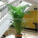 提供花卉租摆散尾葵绿色植物